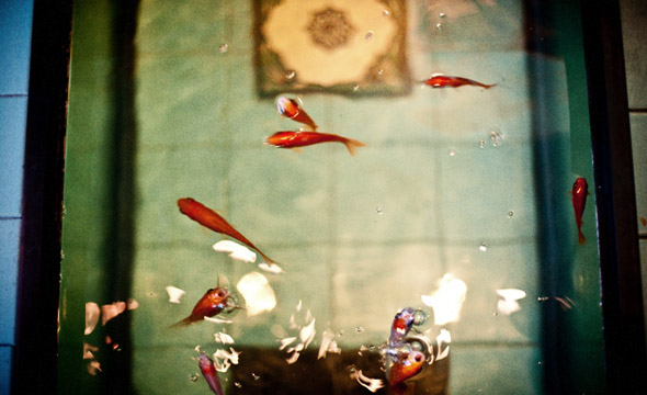 Pomegranate Goldfish