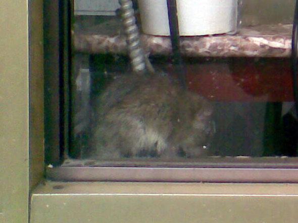 Rat Chinatown