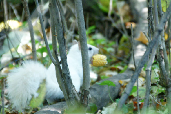 White Squirrels in Toronto and Exeter