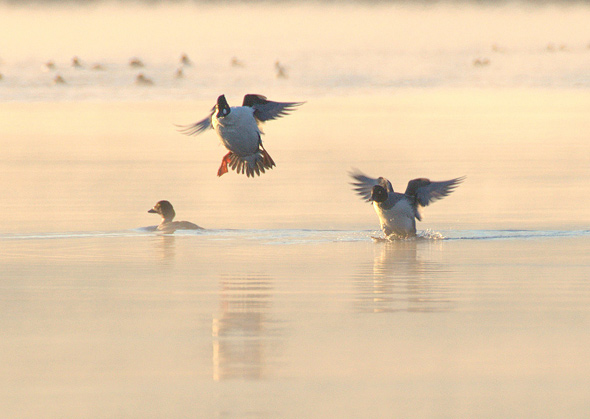 ducks landing