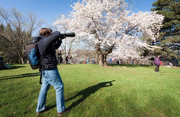 Cherrry Blossom High Park