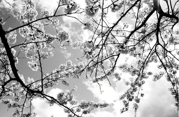 20120412-cherryblossoms-barbs2.jpg