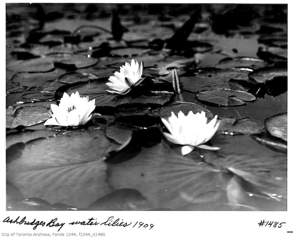 Ashbridges Bay Lillies