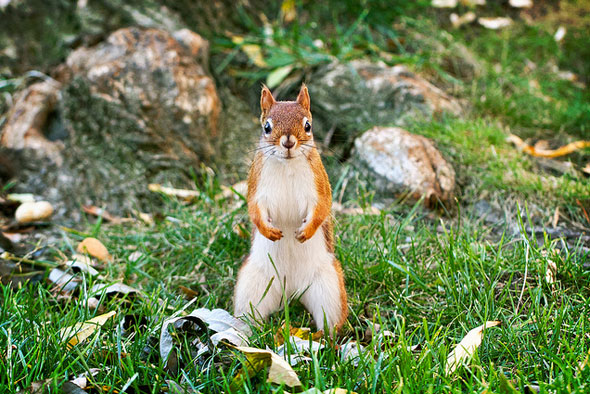 toronto red squirrel
