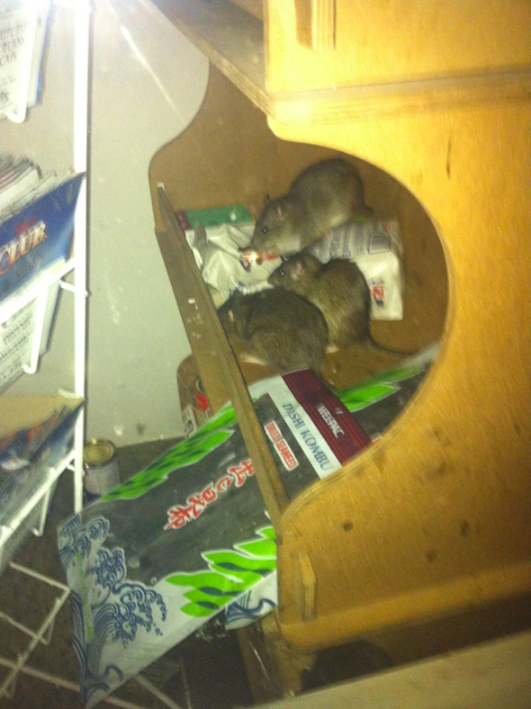 Rats New Seaway Kensington