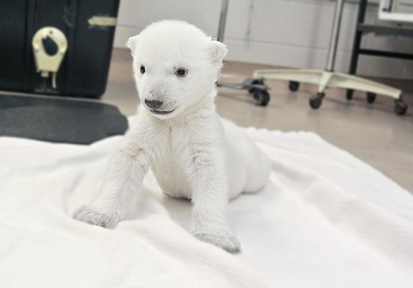 Polar bear cub at the Toronto zoo