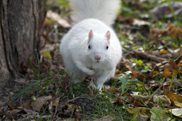 toronto white squirrel