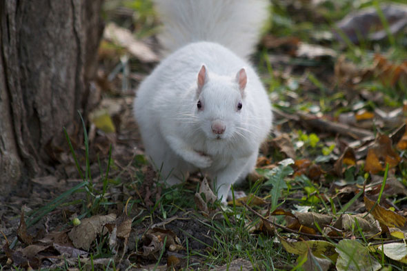 toronto white squirrel