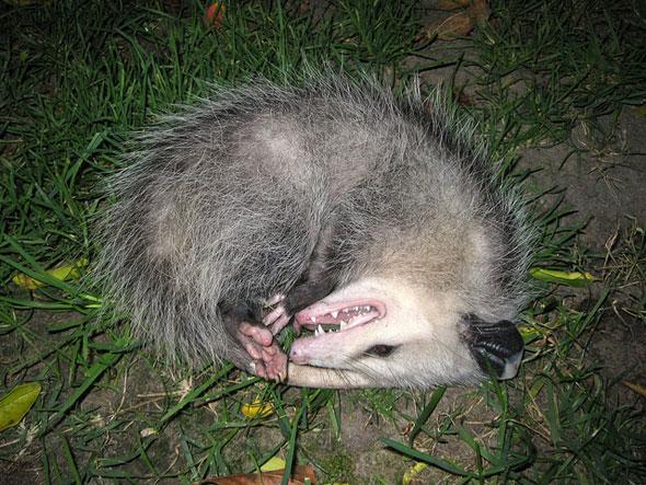 toronto opossum