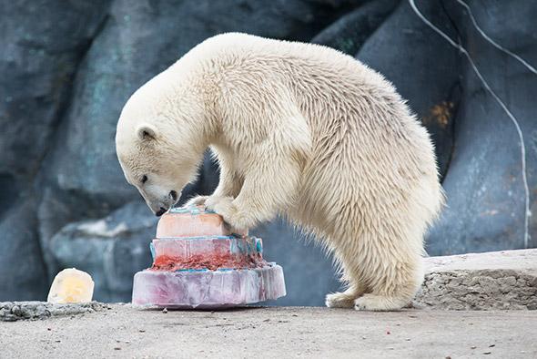 toronto polar bear