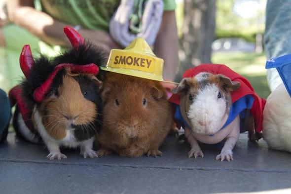 Getting a guinea piggy.?