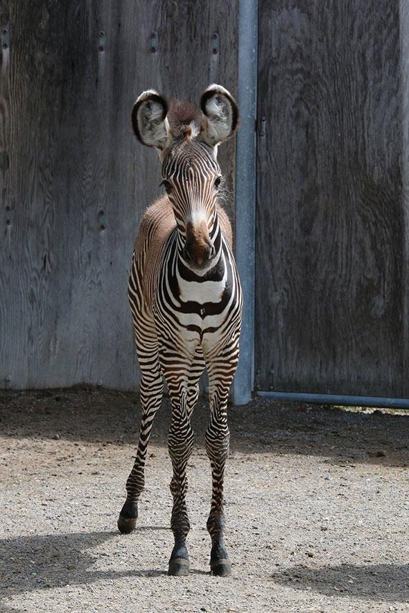 baby zebra is latest sensation at the toronto zoo