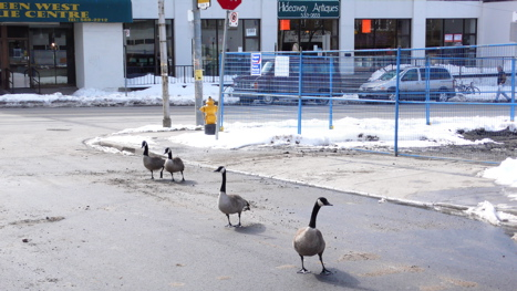 canada geese on the street