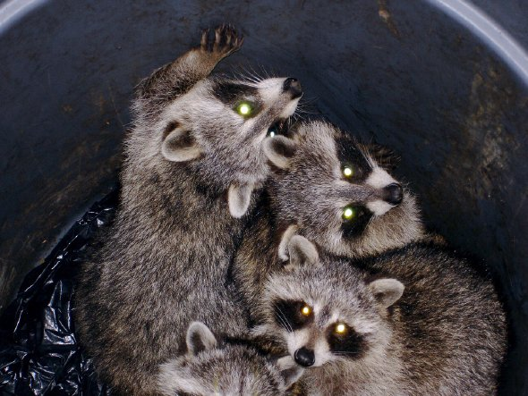 Raccoon-Proof Green Bins: Fact or Fiction? (Part 2)