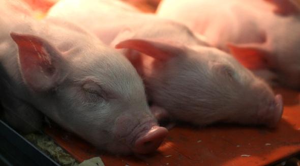 Wilbur pigs
