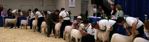 Sheep competition