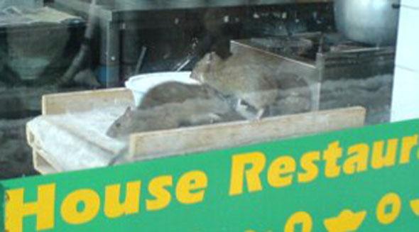 Dumpling House Rats Closeup