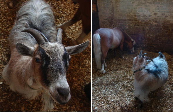 Horse Palace's African Pygmy Goat