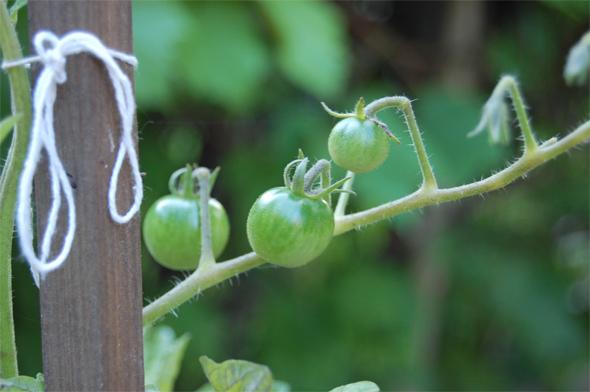 Toronto Tomatoes