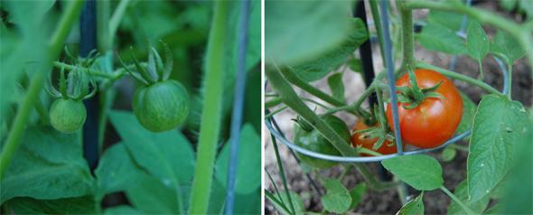20090727---Tomatoes-I.jpg