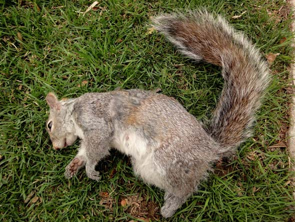 Squirrel roadkill in Toronto