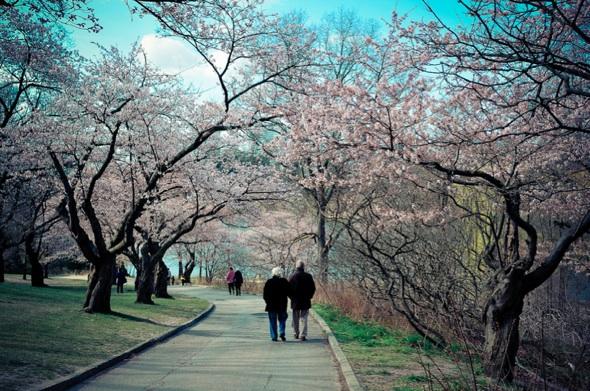 20120412-cherryblossoms-gailatlarge.jpg