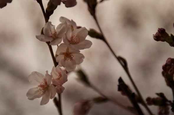 20120412-cherryblossoms-kimyokota.jpg