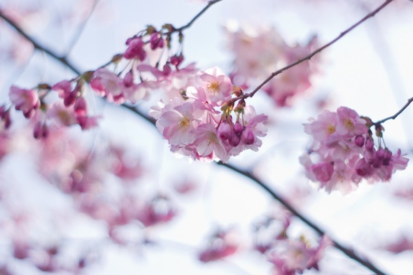 20120412-cherryblossoms-piotrhalka.jpg