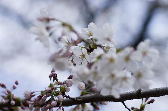 20120412-cherryblossoms-sjgardiner.jpg