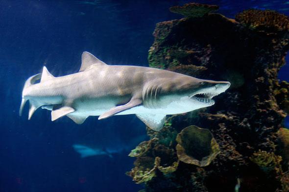 toronto ripley's aquarium tiger shark