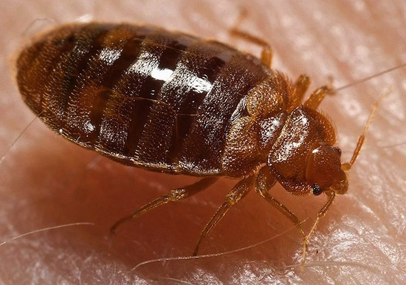 toronto bed bugs