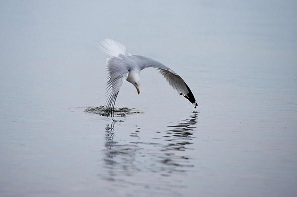 Bird Diving