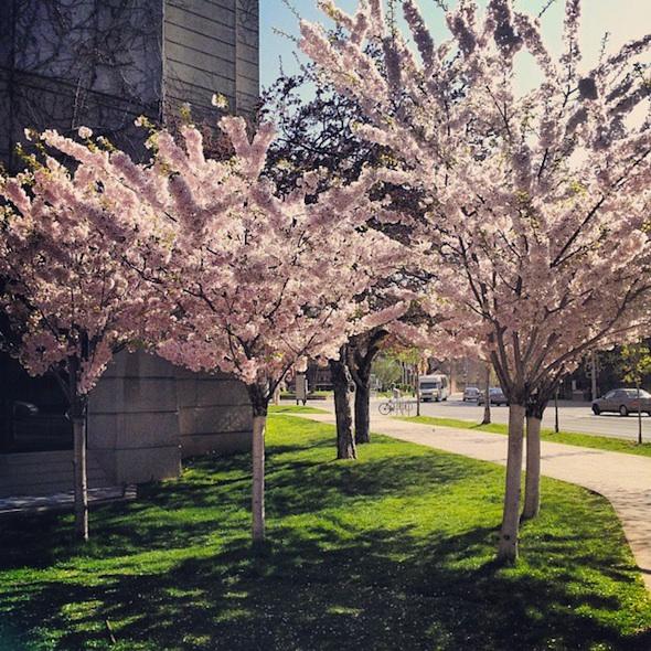 University of Toronto cherry blossoms