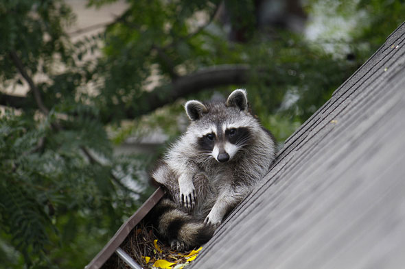Cute Crafty And Toxic Meet The Raccoons Of Toronto