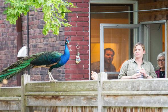 High Park Peacock