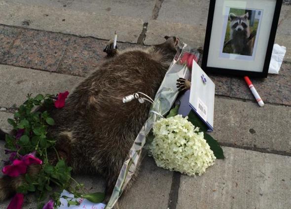Dead Raccoon