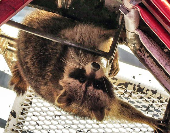 Rooftop Raccoon