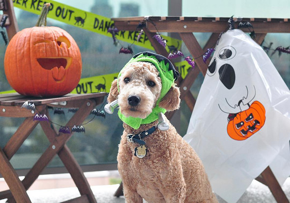 Toronto Dog Halloween